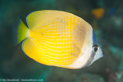 BD-130713-Maldives-0465-Chaetodon-kleinii.-Bloch.-1790-[Sunburst-butterflyfish].jpg